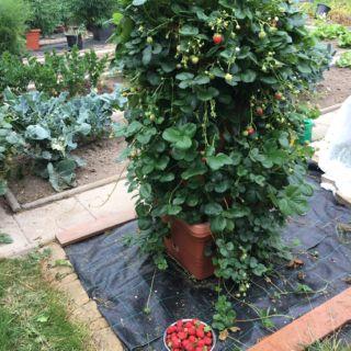 Úspěšný pěstitel jahod
