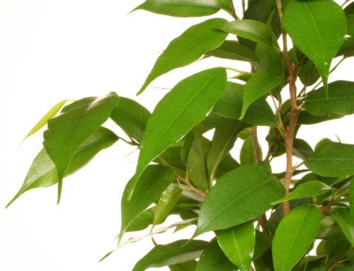 Fíkus – nenáročný zelený přítel