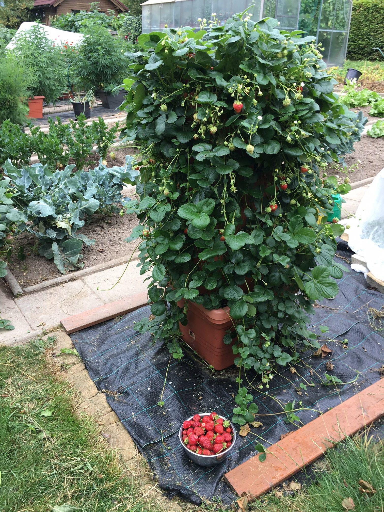 Pěstování jahod v nádobách Berberis